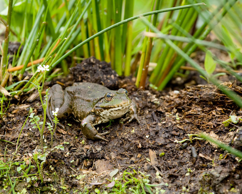 Download Marsh Frog stock image. Image of kent, wild, large, creature - 14415863