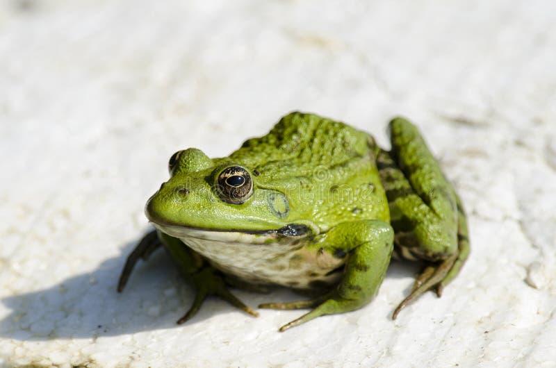 Marsh Frog Stock Images