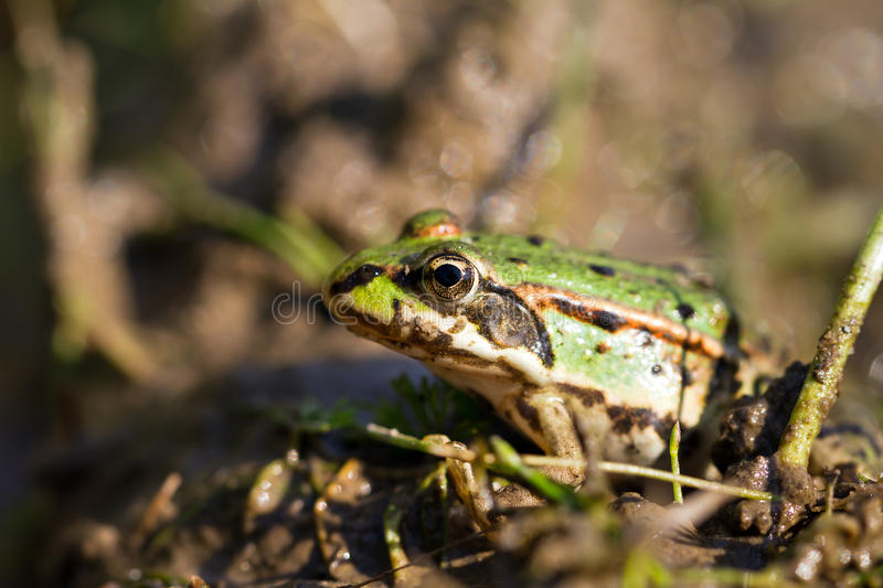 Download Marsh Frog Royalty Free Stock Images - Image: 27906379
