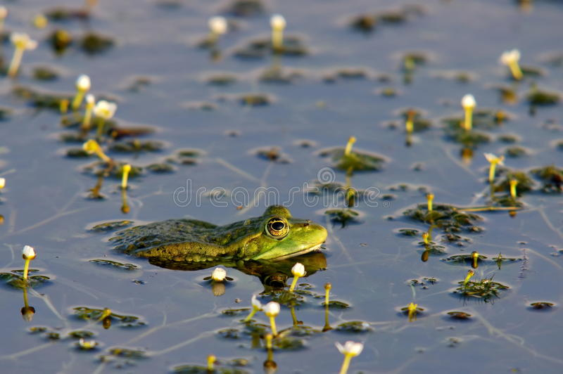 Portrait of Marsh frog (Green Frog) among small white flowers in Danube Delta - landmark attraction in Romania royalty free stock photo