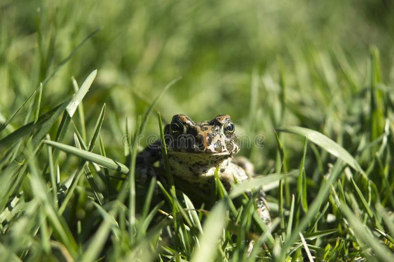 Marsh Frog in the grass. A big marsh frog sits in the grass and looks at you royalty free stock photography
