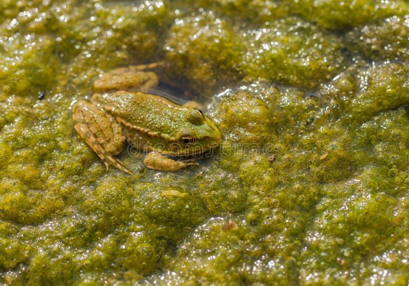 Marsh Frog op waterplants stock afbeelding
