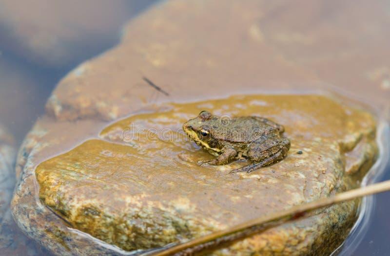 Marsh Frog på stenen arkivfoto
