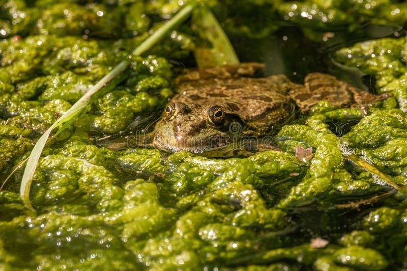 Marsh Frog (Pelophylax ridibunda) gedeeltelijk ondergedompeld in het in het Verenigd Koninkrijk gewonnen water royalty-vrije stock foto