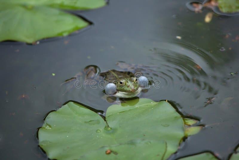 Marsh frog Pelophylax ridibundus. Wildlife animal stock images
