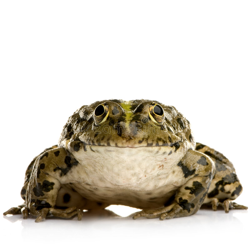 Marsh Frog - Rana ridibunda. Marsh Frog in front of a white background stock image
