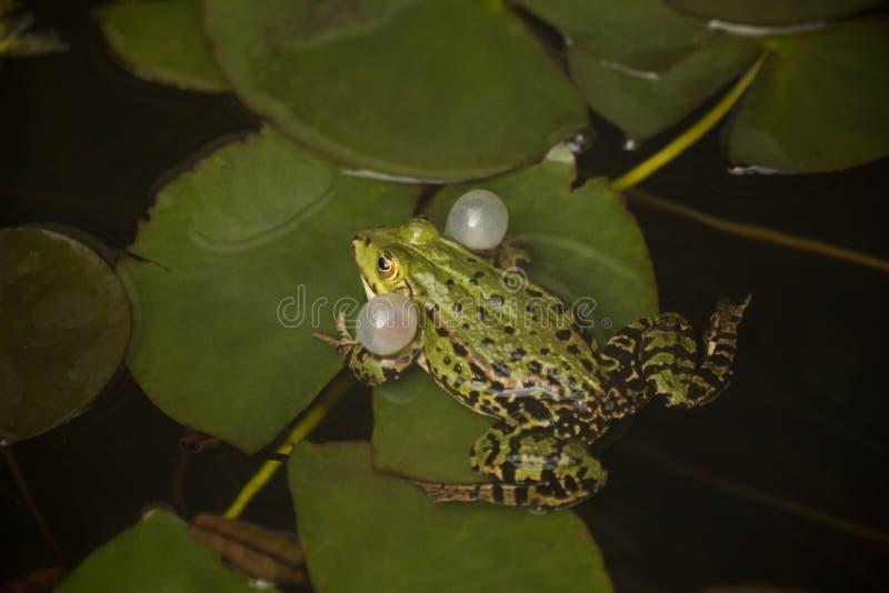 The Marsh frog Rana ridibunda. The Marsh frog Rana ridibunda in zoo royalty free stock photography
