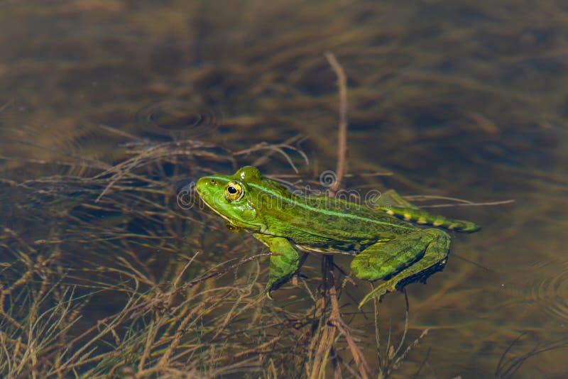 Marsh Frog in the water - Pelophylax ridibundus stock photo