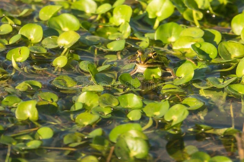Marsh Frog on waterplants. A Marsh Frog, Pelophylax ridibundus, resting on floating water vegetation stock photos