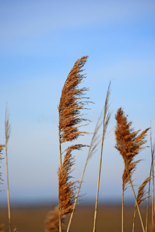 Marsh Grass à la lumière du soleil images stock