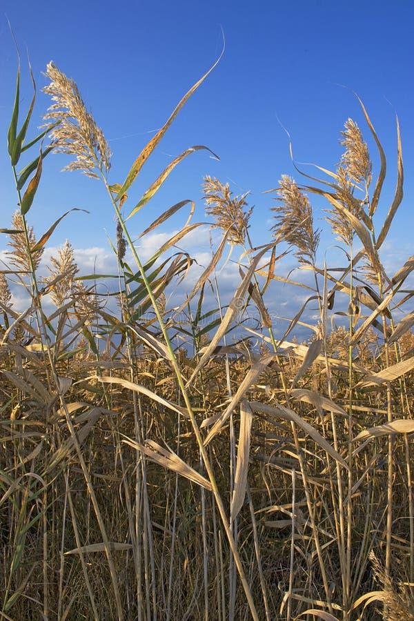 Download Marsh grass stock image. Image of leaves, marshland, brown - 6944047