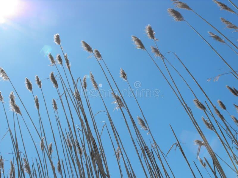 Marsh grass against sunny blue sky royalty free stock photo