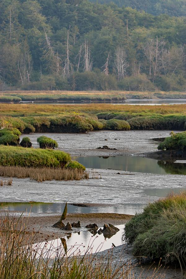 marsh grasses and mud shot vertically in washington state wetlands royalty free stock images