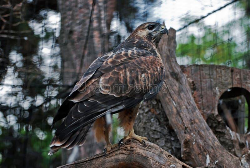 Download Marsh Harrier stock image. Image of flight, natural, fauna - 26803127