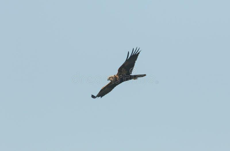 Marsh Harrier cercante magnifico, aeruginosus del circo, volante nel cielo blu immagini stock libere da diritti