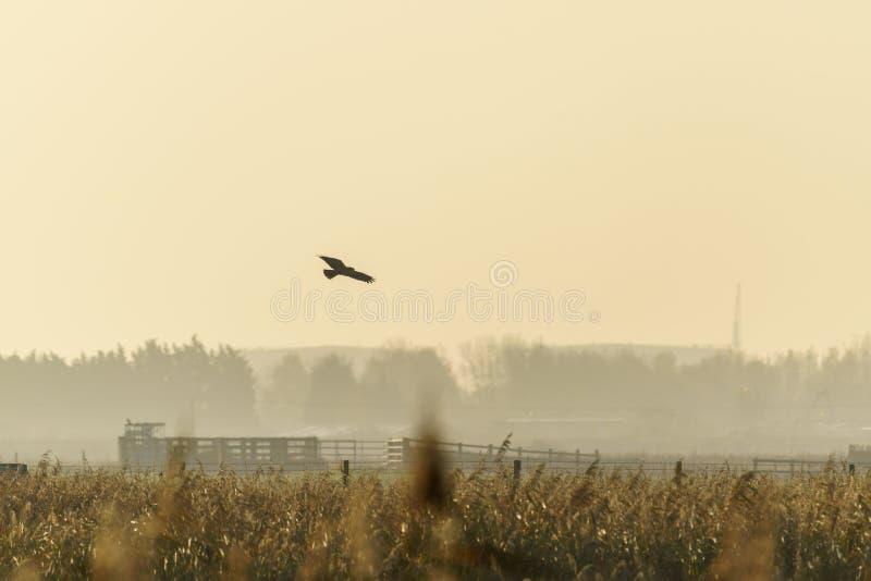 Marsh Harrier (Circus aeruginosus), scattato nel Regno Unito fotografie stock