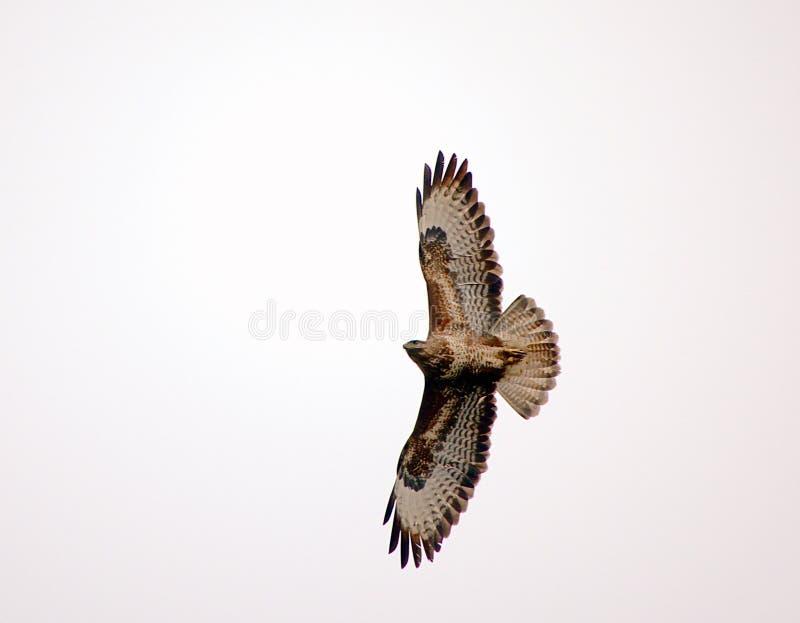 Marsh Harrier con le ali aperte fotografie stock libere da diritti