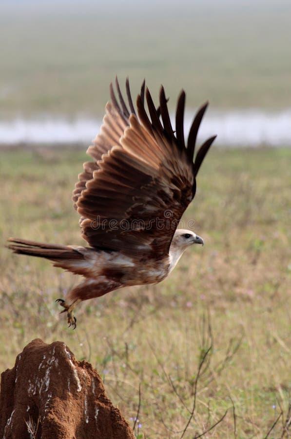 Marsh Harrier in Flight royalty free stock image