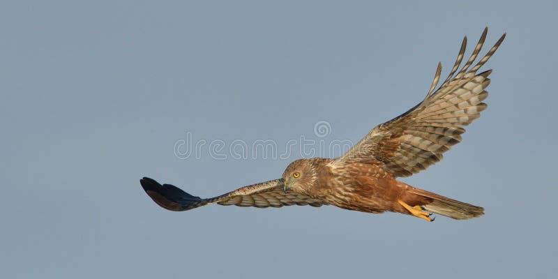 Marsh Harrier-het vliegen stock foto's