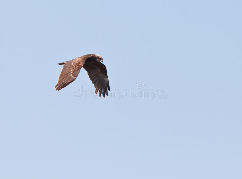 Download A Marsh Harrier On Hunting Patrol Stock Image - Image: 19132469