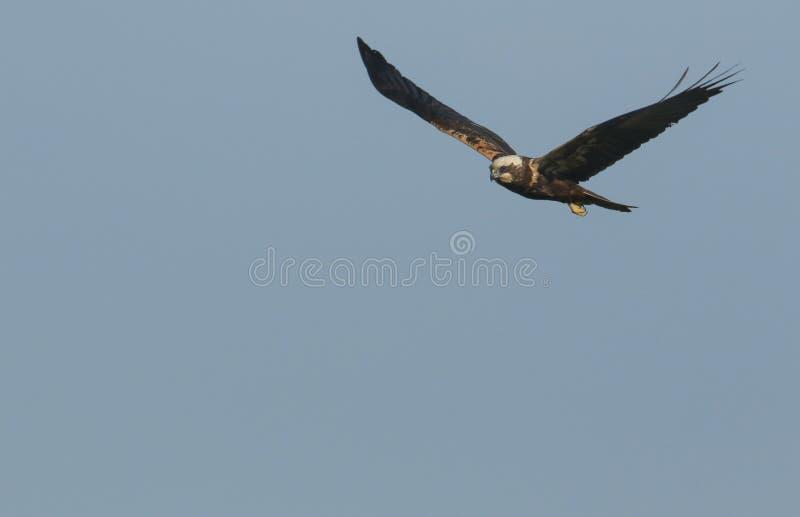 Marsh Harrier magnifico, aeruginosus del circo, volante nel cielo blu immagine stock