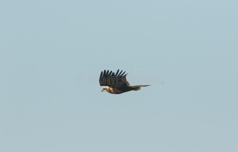 Marsh Harrier magnifico, aeruginosus del circo, volante nel cielo blu fotografia stock libera da diritti