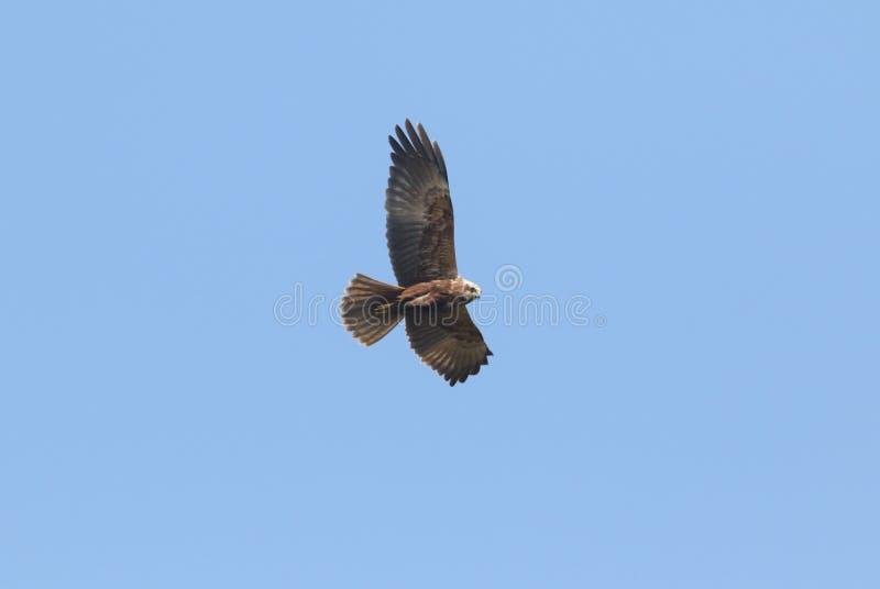 Marsh Harrier magnifico, aeruginosus del circo, volante nel cielo blu immagini stock