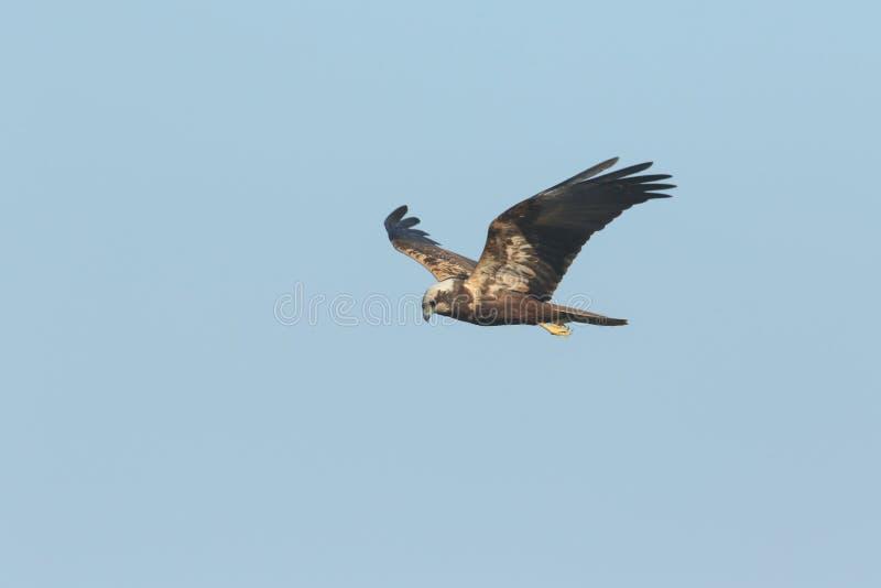 Marsh Harrier magnifico, aeruginosus del circo, volante nel cielo blu immagini stock libere da diritti