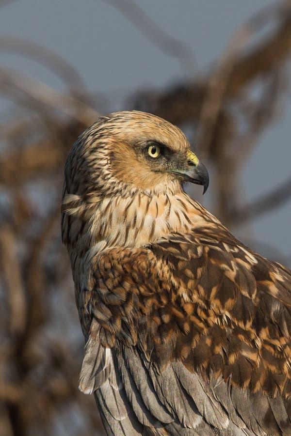 Marsh Harrier Male Adult fotografie stock libere da diritti