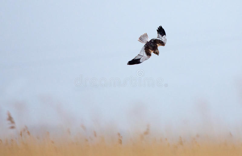 Download Marsh Harrier stock photo. Image of ecology, beautiful - 30303868