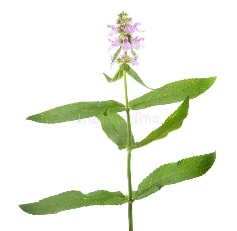 Free Marsh Hedgenettle Or Marsh Woundwort Or Stachys Palustris Isolated On White Background Stock Image - 98316941