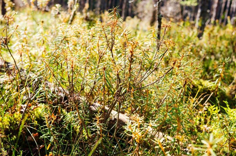Marsh Labrador Tea plants in the autumn stock photos