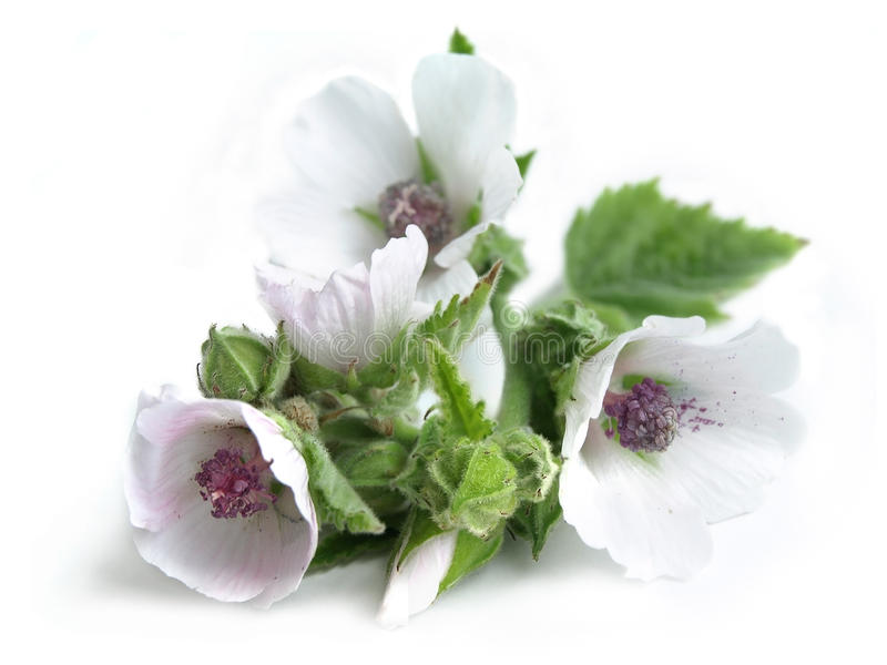 Marsh mallow (Althaea officinalis) stock photos
