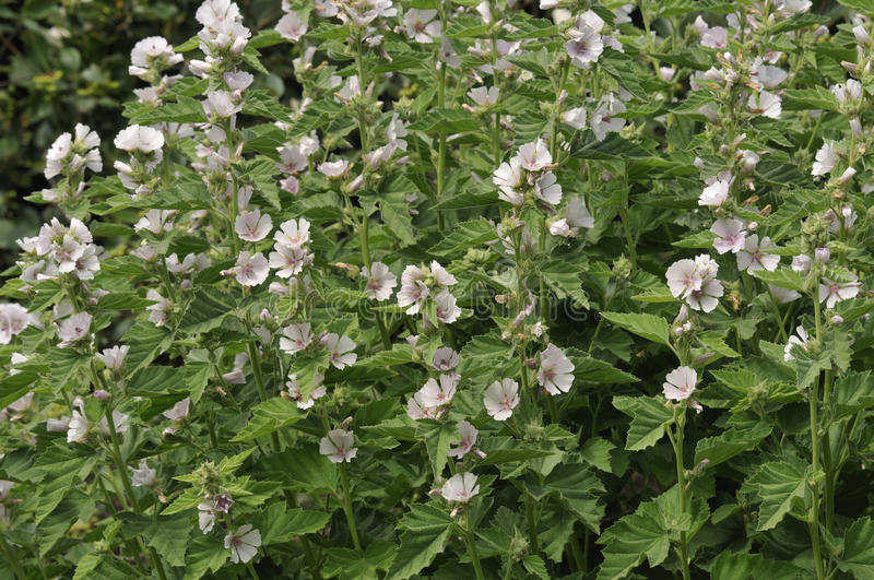 Marsh Mallow. Althaea officinalis Found on the coast of North Somerset stock photo