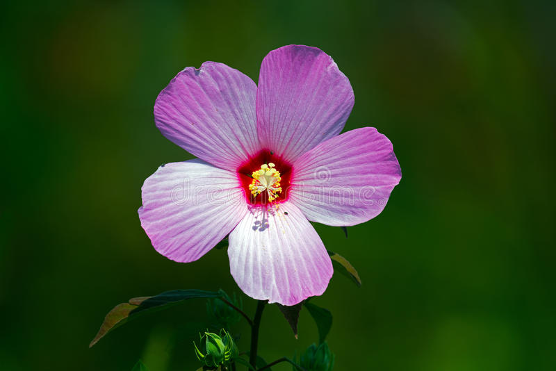 Marsh Mallow. Flower with bugs royalty free stock photo