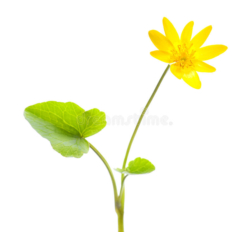 Marsh Marigold stock images