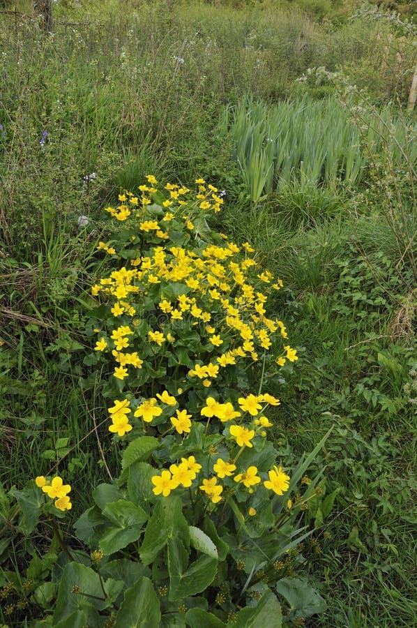 Marsh Marigold royaltyfria foton