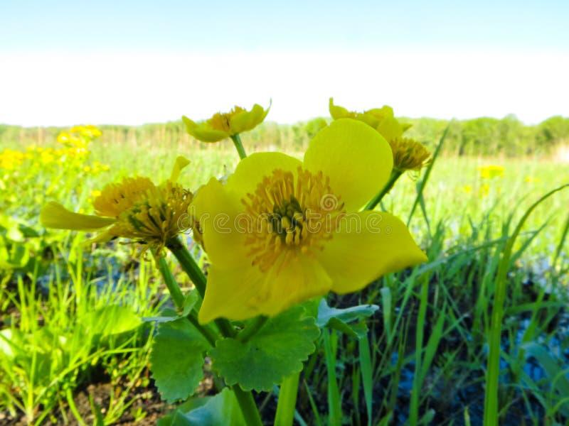 Download Marsh Marigold Caltha Palustris Fotografering för Bildbyråer - Bild av blodsugare, blommar: 106830021