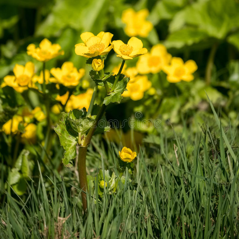 Marsh Marigold Caltha palustris royaltyfri bild