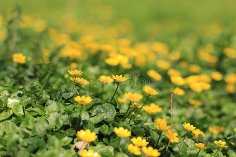 Marsh Marigold (Caltha palustris) stock image