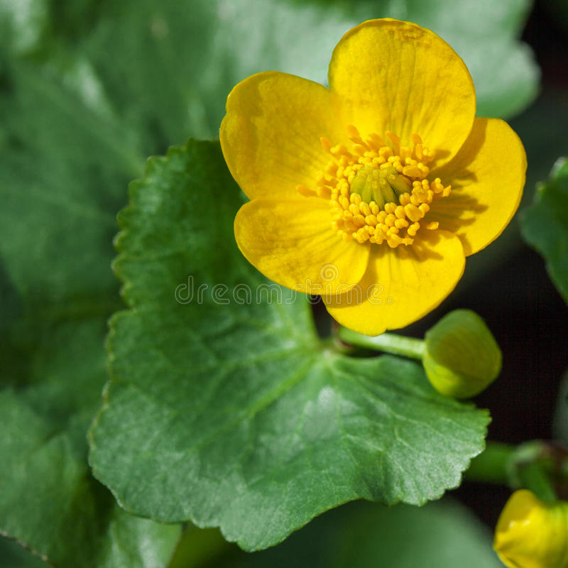 Marsh Marigold. Caltha palustris yellow spring flower close up, commonly known as Marsh Marigold stock images