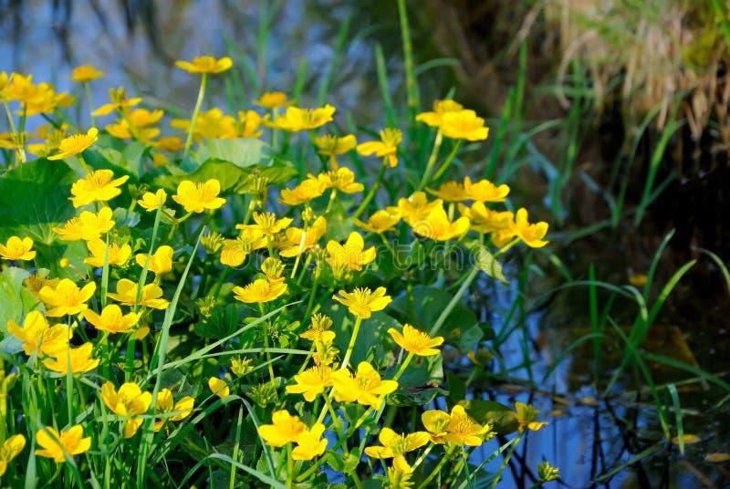 Marsh Marigold Caltha palustrisblommor fotografering för bildbyråer