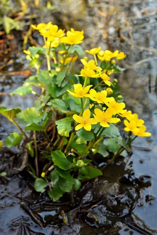 Marsh Marigold (Calthapalustris) blommor royaltyfri foto