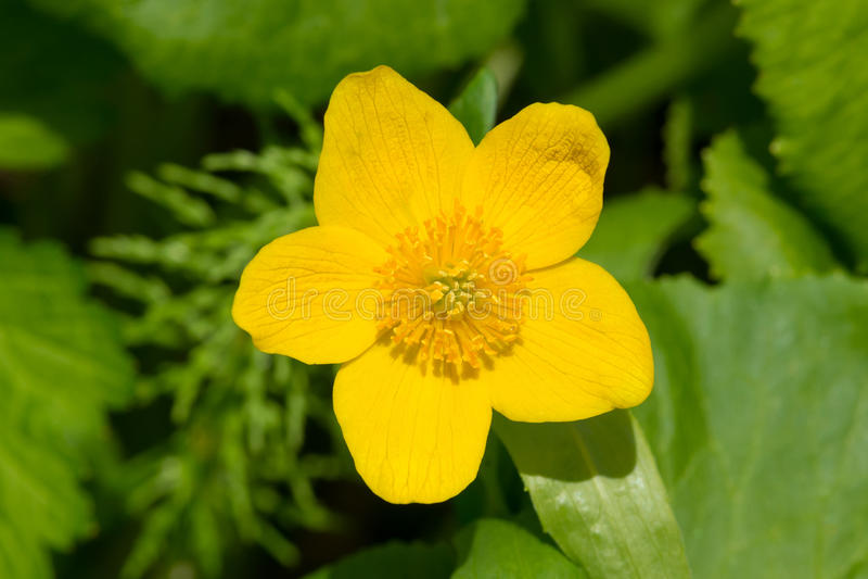 Marsh Marigold - Caltha palustris stock image