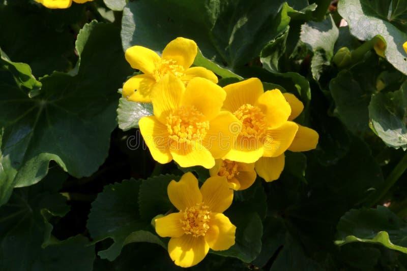 Marsh Marigold en flor con las flores amarillas brillantes Cierre para arriba foto de archivo libre de regalías