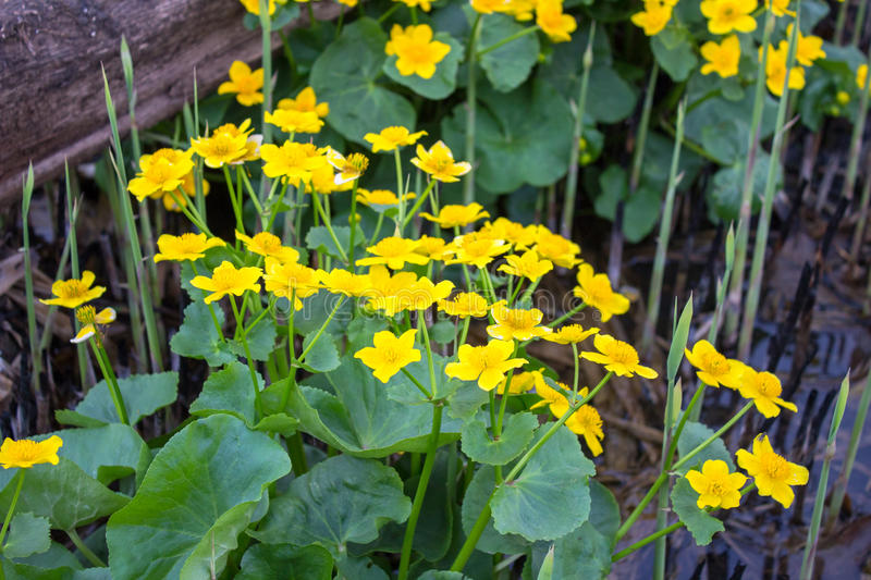 Marsh marigold. Flower grow in environments humidification: the swamps and marshy meadows, along ponds and rivers stock images