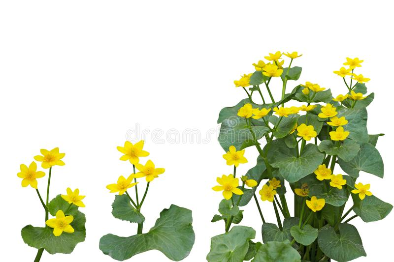 Download Marsh Marigold Flower Plant Fotografia Stock - Immagine di luminoso, yellow: 117980594