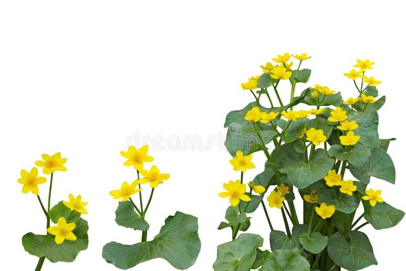 Marsh Marigold Flower Plant stock images