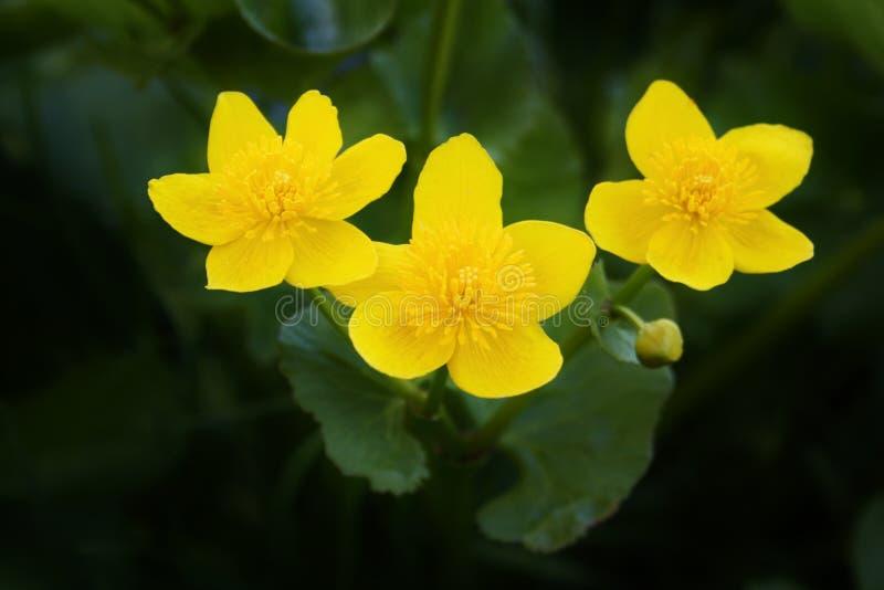 Marsh marigold flowers. Bright yellow marsh marigold Caltha palustris flowers against dark background stock image