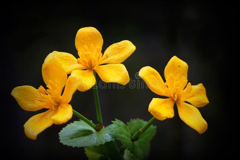 Marsh Marigold flowers royalty free stock photo
